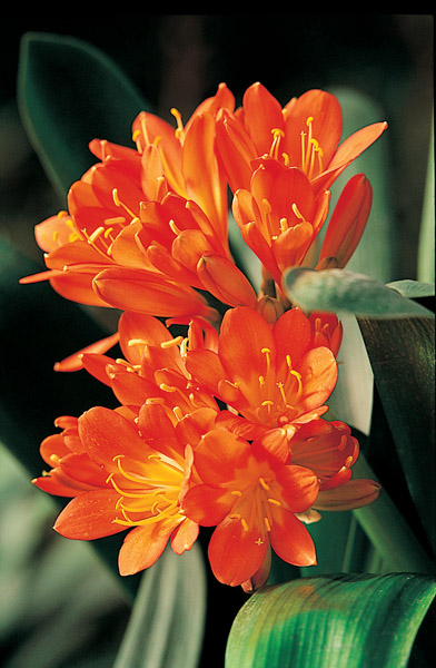 fleurs exotiques oranges. Black Bedroom Furniture Sets. Home Design Ideas