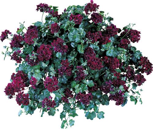 Page almanach mai 2014 - Geranium lierre double retombant ...