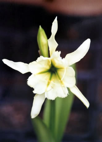 Adoptez une superbe p ruvienne for Rempotage bulbe amaryllis