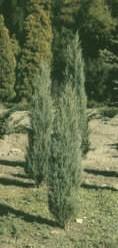 taxus baccata fastigiata robusta 2 mètres